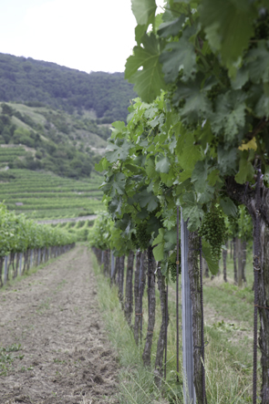 viinikoynnos